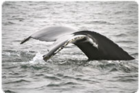 Minke whale in the St. Lawrence river