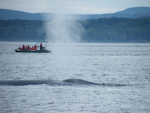 Blow breading holes and back of blue whale near to Escoumins
