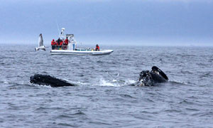 Our zodiacs are designed especially for the observation of the whales and  very comfortable in all conditions